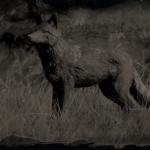 LAWF# 8 Legendary Coyote