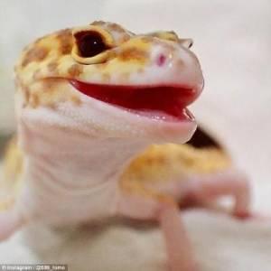 Leopard Gecko 646